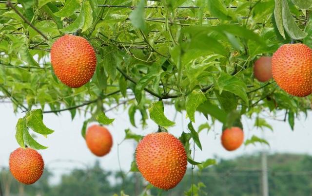 Lạc tiên và gấc của trang trại dược liệu TH – nguyên liệu chế biến nước uống thảo dược TH true Herbal đạt chứng nhận tiêu chuẩn hữu cơ Châu Âu và Mỹ