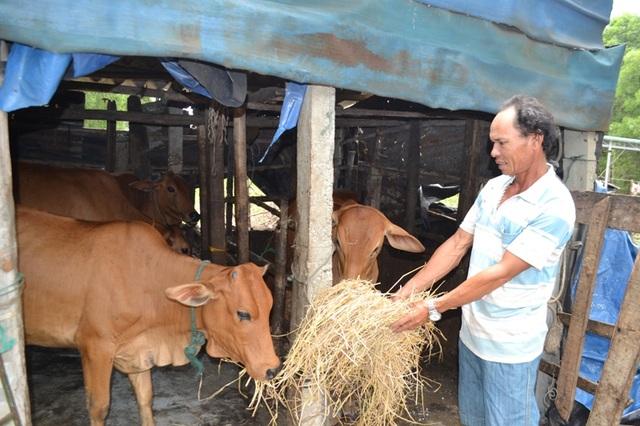 Sau sự cố môi trường, anh Luật chuyển hướng phát triển chăn nuôi bò