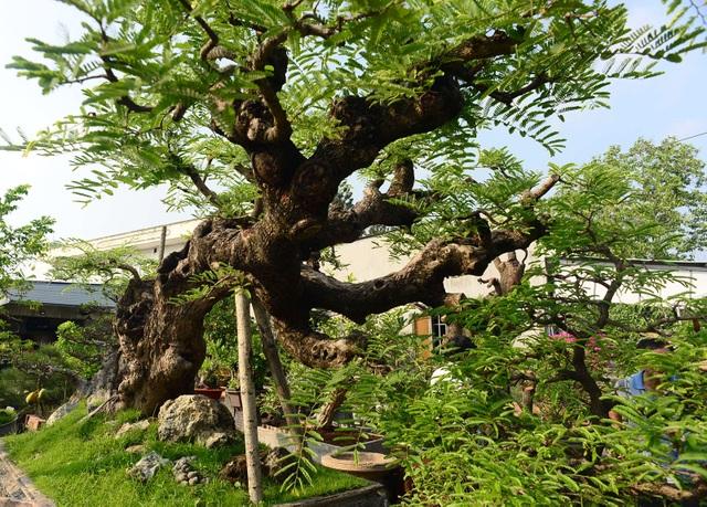 Cây me dáng ba đầu rồng hết sức quái ở trong vườn cây cảnh của ông Trịnh Công Minh đang được chăm sóc tại vườn cây cảnh ngã tư đường Bà Triệu - Song Hành Quốc lộ 22, thị trấn Hóc Môn, TPHCM