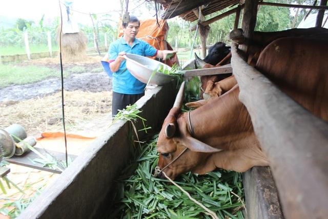 Từ vay 2 triệu đồng nuôi bò đến nay anh Hứa Văn Nhay đã phát triển thành đàn bò 15 con