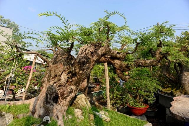 """Ngỡ ngàng với cây me """"ba đầu rồng"""" xưa nay hiếm ở Sài Gòn - 3"""