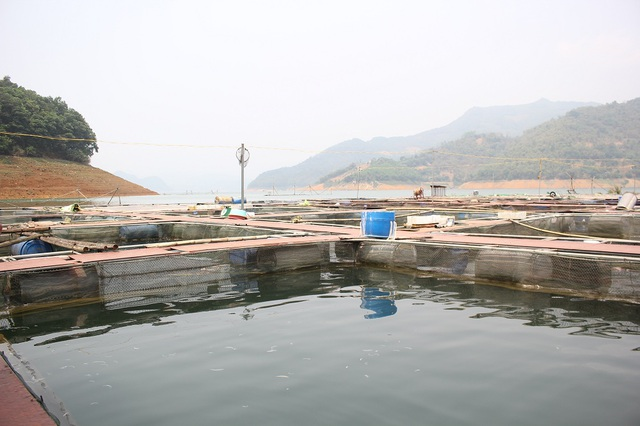 Mỗi lồng bè có thể tích khoảng 100m3 nuôi được 20-30 tấn cá đem lại thu nhập lớn cho người dân.