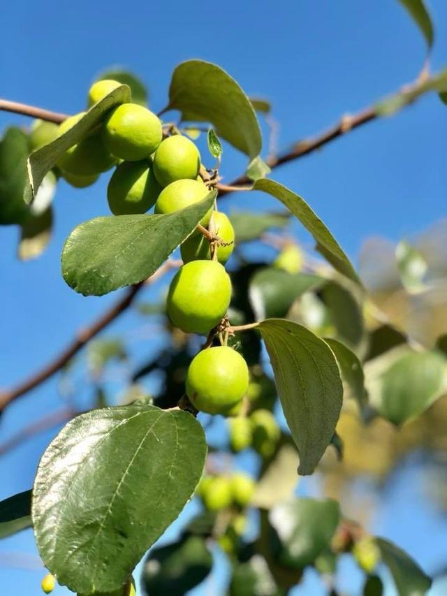 Nhiều bạn bè Việt sang thăm nhà Bằng Kiều đều thích ra vườn hái trái cây để cảm nhận hương vị quê hương.