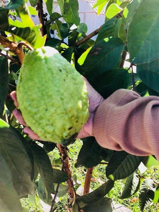 Khu vườn tiền tỷ lúc lỉu cây trái của Bằng Kiều trên đất Mỹ - 11