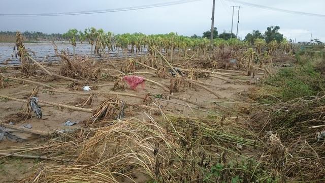 Vườn đu đủ tại Đại Lộc- Quảng Nam đã bị tàn phá nặng nề sau cơn bão. (Ảnh: Phan Thanh Mỹ).