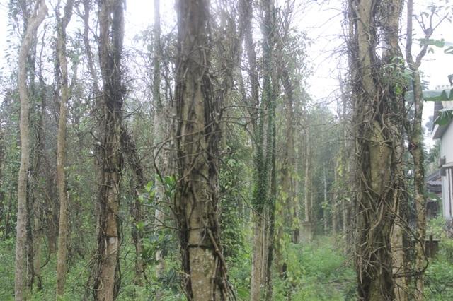 Những cây tiêu bị chết khô trơ thân khiến nông dân thất thu