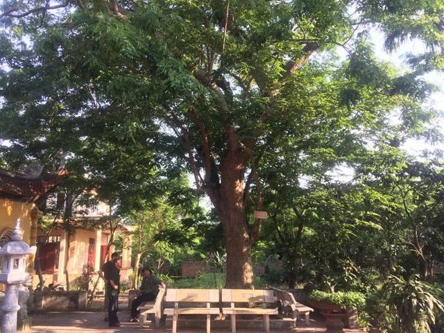 Trong đình làng Đông Cốc còn 1 cây sưa 400 tuổi xanh tốt vô cùng giá trị khác đang bị đồn thổi là người dân trong làng muốn bán, nhưng sự thật không hề như vậy