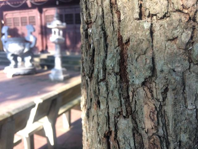 Thân cây sưa 400 tuổi