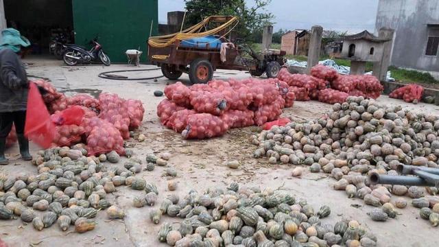Khoảng 450 tấn bí đỏ đang cần được giải cứu