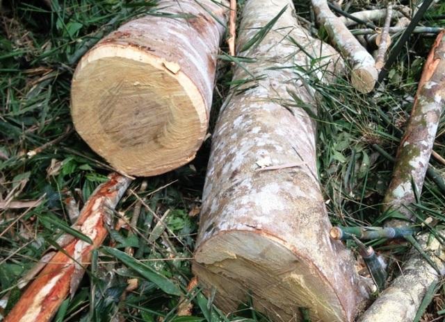 Hàng chục cây gỗ bị đốn hạ trong khu vực rừng tại xã Xuân Chinh