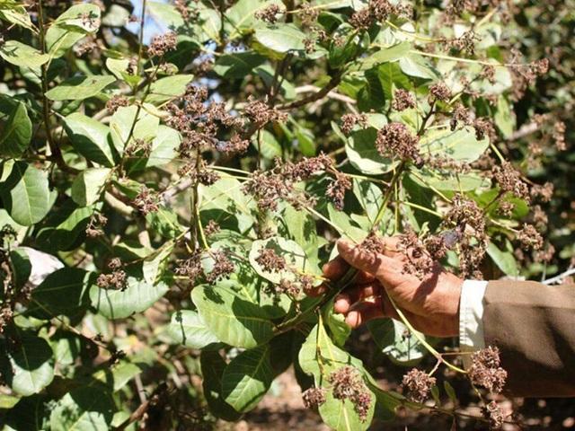 Bọ xít muỗi tấn công cây điều khiến hoa cháy khô