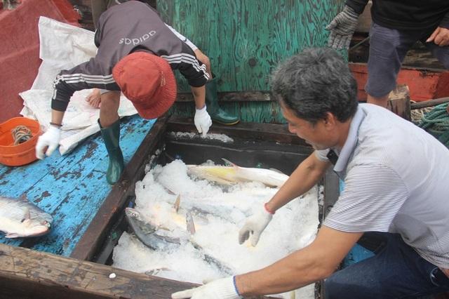 Do lượng cá quá nhiều, anh Tuấn phải thuê các tàu khác ra chuyên chở