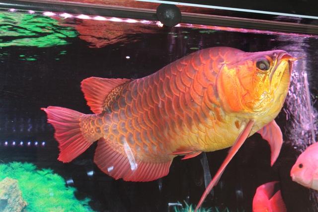 Cận cảnh chú cá 300 triệu đồng của cửa hàng cá cảnh.