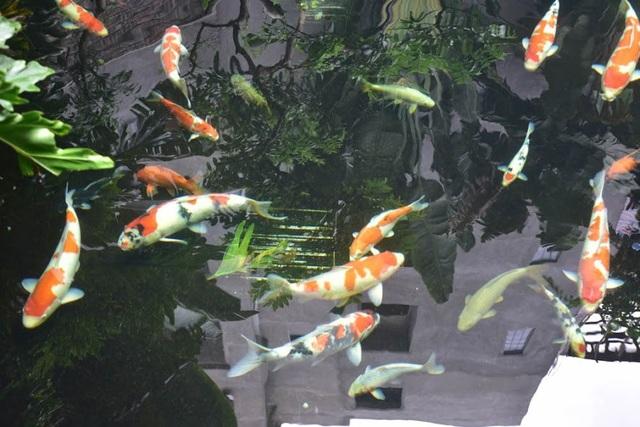 Mỗi con Koi trong bể có giá từ 3 triệu cho đến trên 20 triệu tùy theo kích thước, màu sắc của từng con.