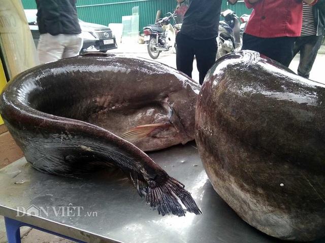 """Cận cảnh cặp cá leo """"khủng"""" nặng hơn1 tạ xuất hiện ở Thủ đô - 3"""