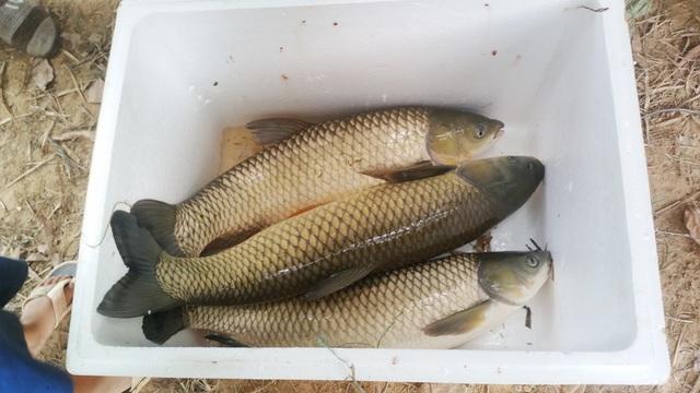 Cá lồng chết hàng loạt trên sông Bồ, được người dân vớt lên vào sáng 10/7