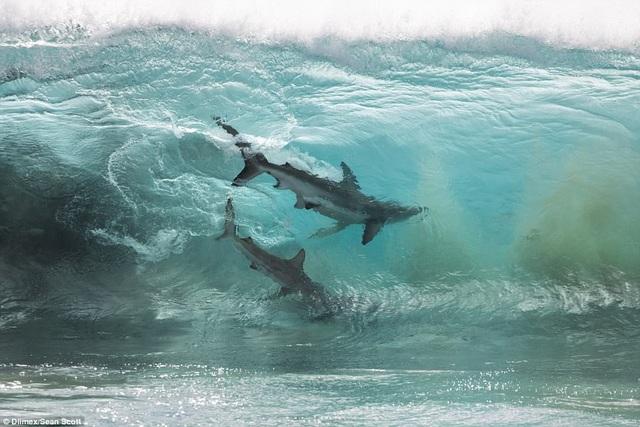 Cận cảnh những con cá mập bơi trong nước.