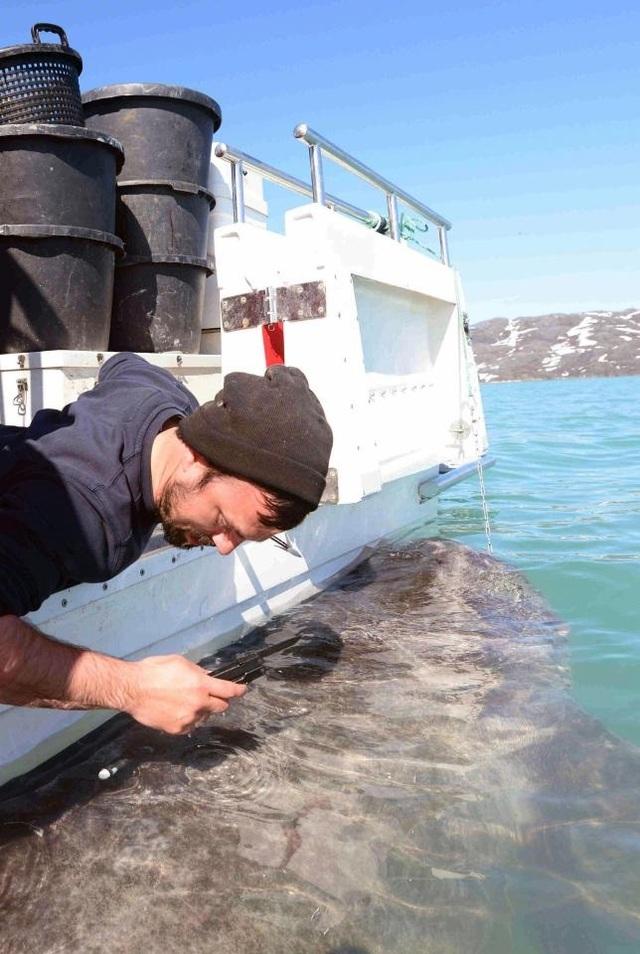 Nhà nghiên cứu đang lấy mẫu từ một con cá mập.