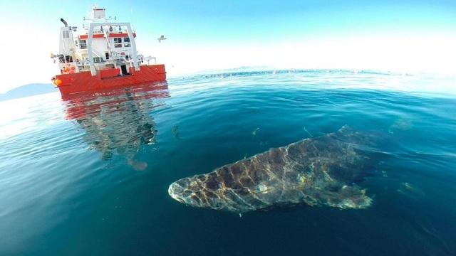 Một trong các con cá mập đang bơi gần một tàu nghiên cứu.