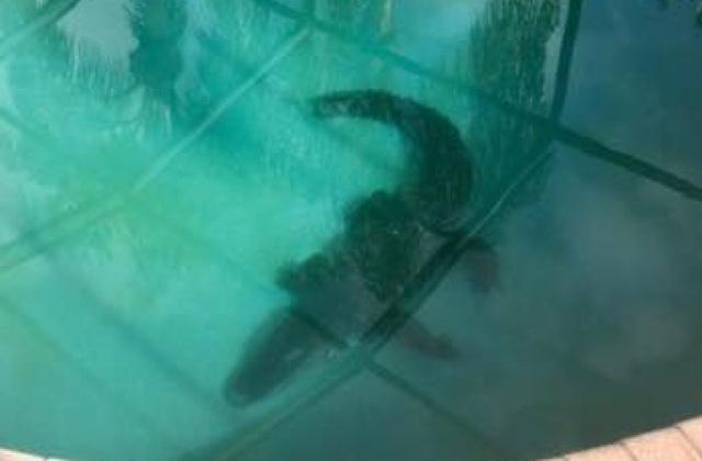 Một gia đình người Mỹ phát hiện cá sấu dài hơn 2m nằm trong bể bơi của nhà