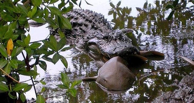 Cá sấu ăn cả cá mập và nhiều loài khác nữa - 1