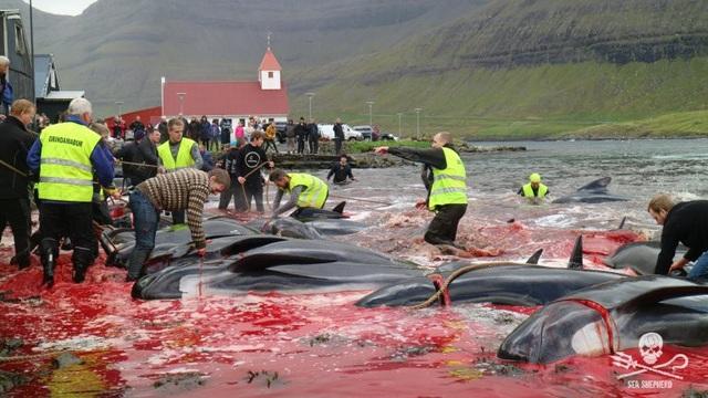 Kinh hoàng cảnh tượng hàng trăm con cá voi, cá heo bị giết ở quần đảo Faroe - 4