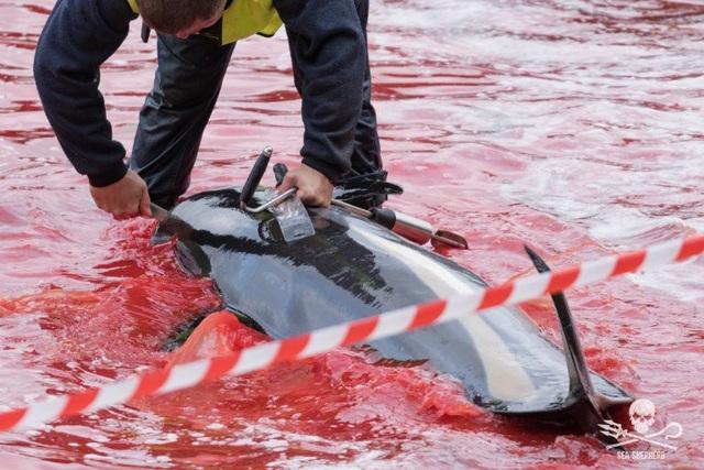 Kinh hoàng cảnh tượng hàng trăm con cá voi, cá heo bị giết ở quần đảo Faroe - 3