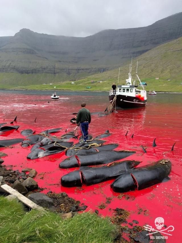 Kinh hoàng cảnh tượng hàng trăm con cá voi, cá heo bị giết ở quần đảo Faroe - 2