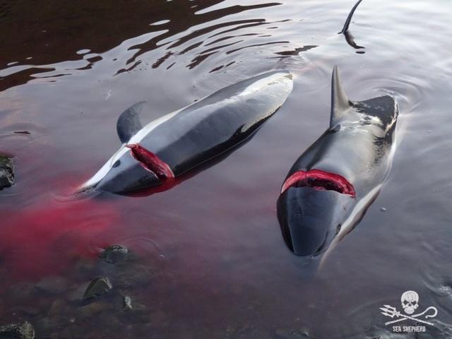 Kinh hoàng cảnh tượng hàng trăm con cá voi, cá heo bị giết ở quần đảo Faroe - 1