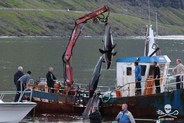 Kinh hoàng cảnh tượng hàng trăm con cá voi, cá heo bị giết ở quần đảo Faroe - 5