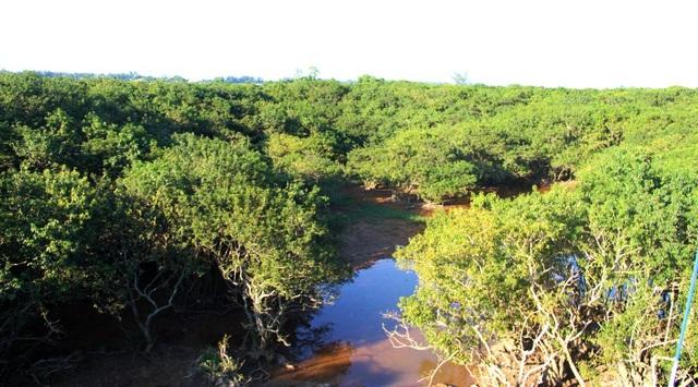 """Rừng ngập mặn Rú Chá được mệnh danh là """"lá phổi xanh"""" của Huế"""