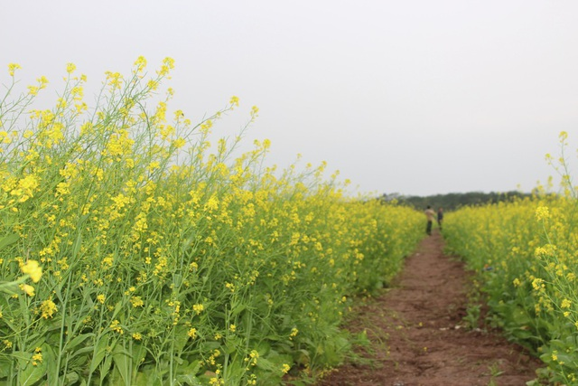Ngẩn ngơ giữa cánh đồng cải vàng sưởi ấm trời đông Hà Nội - 10