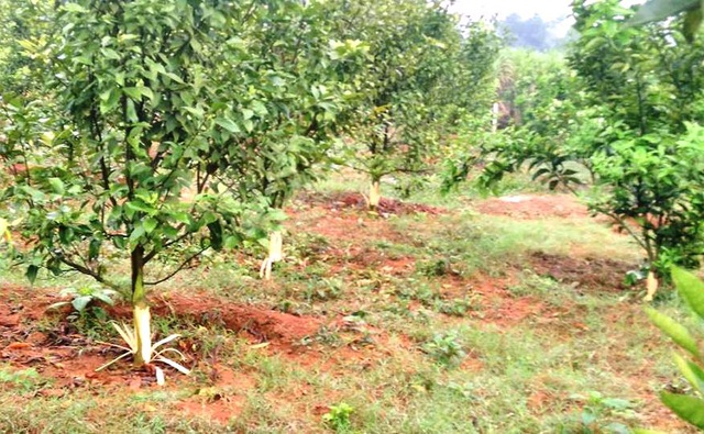Mỗi cây cam có giá trị trên 1 triệu đồng, chủ hộ đã bị kẻ xấu làm thiệt hại hơn 100 triệu đồng