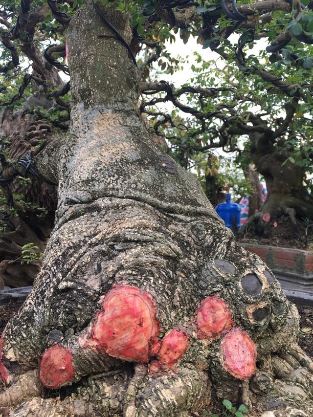 Vòng thân của cây thuộc dạng khủng