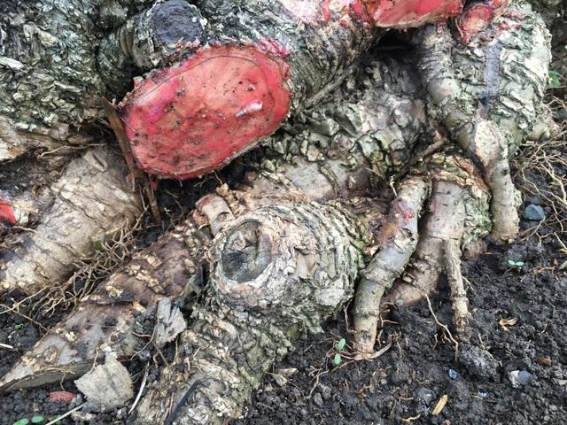 Bộ rễ đã rất lâu năm và thích nghi được trong chậu