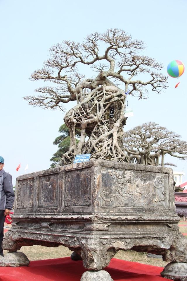 Cây có chiều cao khoảng 1,5m, đường kính thân là 40cm.