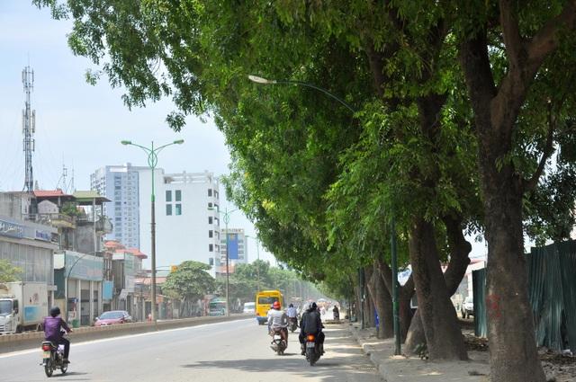 Nhiều cây xà cừ trên tuyến đường Phạm Văn Đồng có tuổi đời hàng chục năm, thân cây đường kính 70-100 cm.