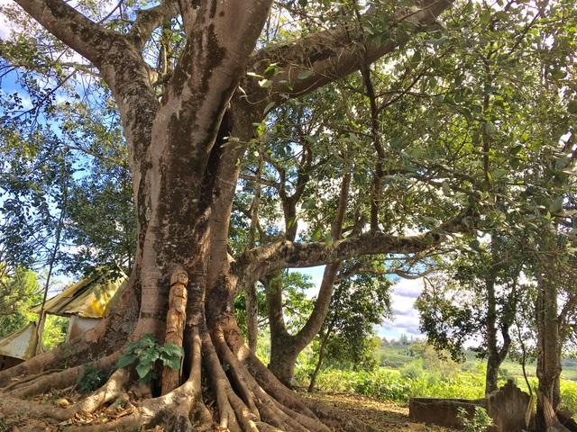 Cây đa và tượng của người Jrai thể hiện sự gắn kết với thiên nhiên
