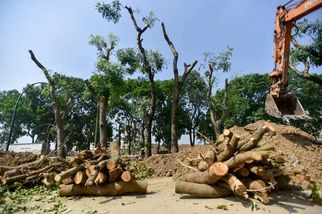 Chiến đa số là cây xà cừ lâu năm, được tỉa cành, đào gốc để đánh chuyển đi ươm trồm ở nơi khác.