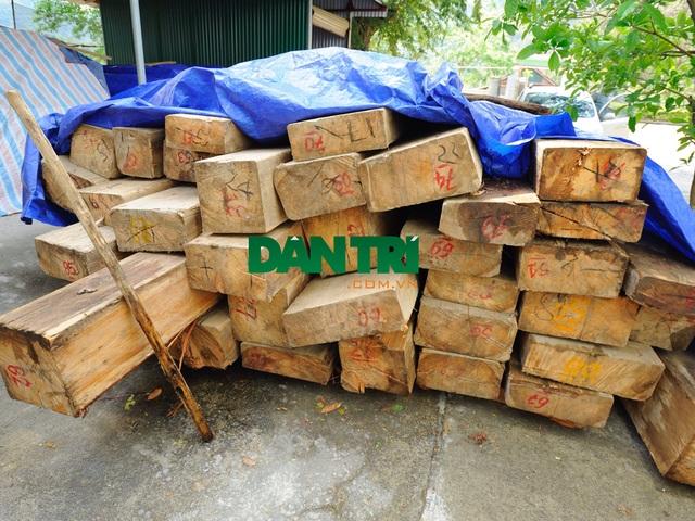 Số gỗ ma mu dầu bị chặt hạ được thu giữ và tập kết tại Ban quản lý rừng phòng hộ huyện Kỳ Sơn.