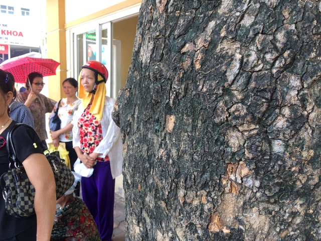 Bất ngờ trước giá trị thật của cây sưa trước cổng Bệnh viện 108 - 2