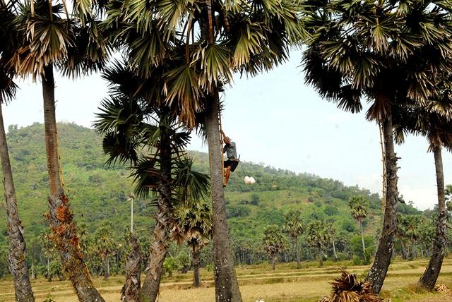 Thợ leo thốt nốt rất giỏi trèo cây cao mười mấy, hai mươi mét hoặc chuyền từ cây này sang cây khác mà không phải tụt xuống đất.