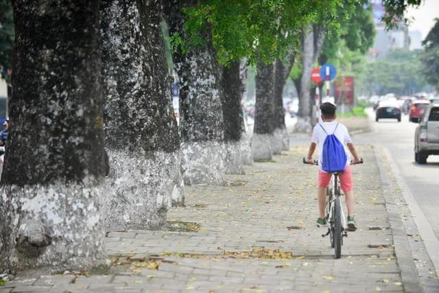Hàng cây xà cừ trên đường Kim Mã vốn quen thuộc đối với người dân Hà Nội.