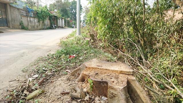 Thêm một xã ở Hà Nội bất ngờ chặt hàng loạt cây xanh - 1