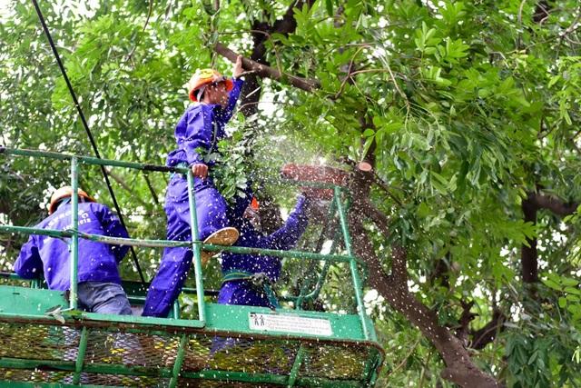 Số cây đánh chuyển sẽ được đưa về ươm trồng tại nút giao lớn của Hà Nội như nút giao Tả Hồng - Võ Nguyên Giáp, nút giao quốc lộ 5 - đường vành đai 3...
