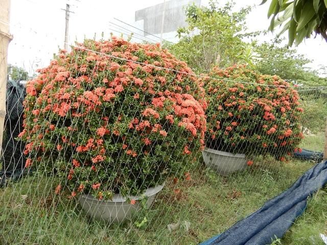 Cặp hoa trang có giá 40 triệu đồng trong vườn hoa của anh Phương