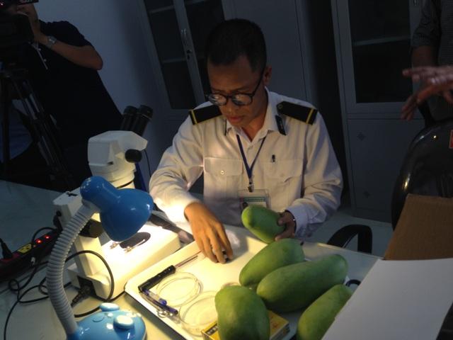 Cán bộ Trung tâm Kiểm dịch thực vật sau nhập khẩu kiểm tra ngẫu nhiên các mẫu xoài trước khi đưa vào chiếu xạ.