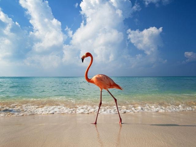 Một con hồng hạc thong dong đi lại trên bờ biển