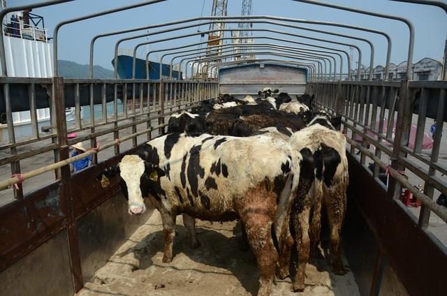 """Các """"cô bò"""" mà Tập đoàn TH nhập về đợt này mang trong mình những loại gen tốt hàng đầu của Mỹ với sản lượng sữa đạt khoảng 12.000 lít/con/chu kỳ (305 ngày)."""