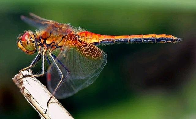 Kỳ thú: Chuồn chuồn cái giả chết để tránh giao phối - 1